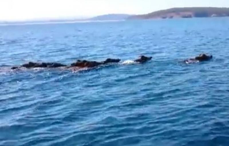 Заснеха стадо диви прасета в Черно море (ВИДЕО)