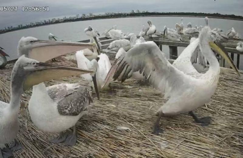 Пеликаните заеха новите си бургаски квартири
