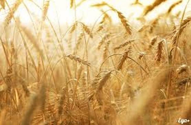 Дъждовете няма да ощетят финансово зърнопроизводителите в Бургаско