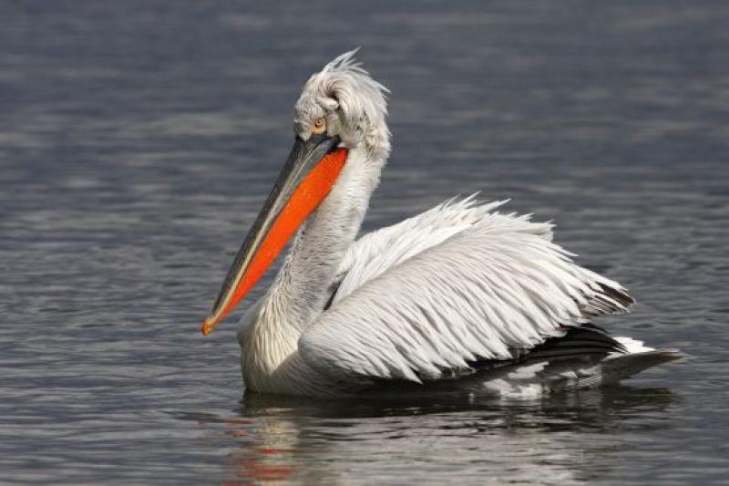 Трансгранични усилия за опазване на къдроглавия пеликан в Европа