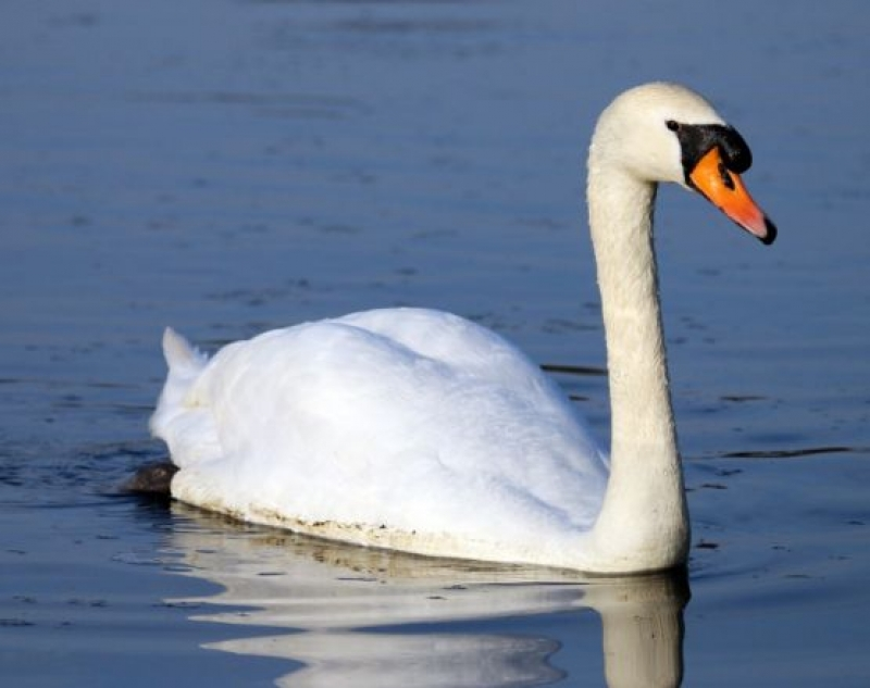 Лебеди в Екопарк Вая
